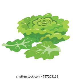 vector illustration of lettuce