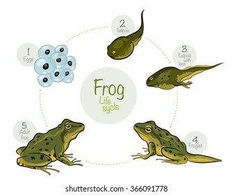 Vector illustration: Life cycle of a frog. High quality vector illustration of a frog cycle