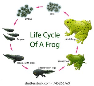 Vector illustration of Life cycle of frog