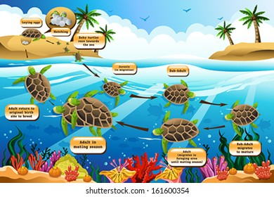 A vector illustration of life cycle of the sea turtle