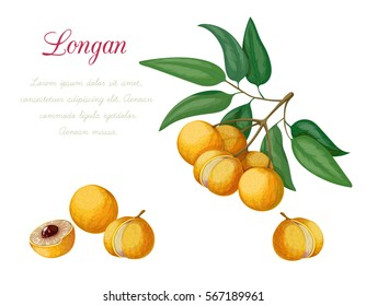 Vector illustration of longan, made in a realistic style. Isolated objects on a white background. A series of exotic fruits.