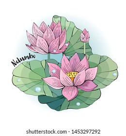 Vector illustration of Lotus flower. Beautiful pink Lotus on white background. Hand-drawn. Botanical illustration. Nelumbo.
