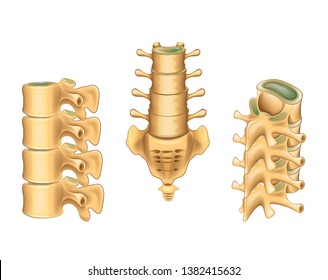 Vector illustration of lumbar vertebrae and sacrum