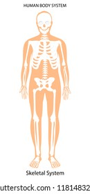 Vector illustration. Male human body skeletal system. Skeleton front view