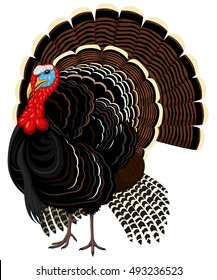 Vector illustration of a male wild turkey.