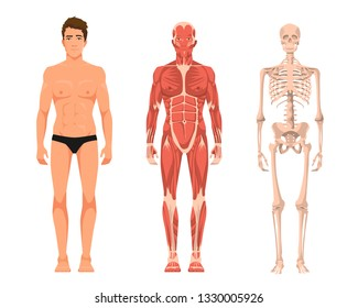 Vector illustration of man anatomy. Cartoon realistic people illustartion. Flat young man. Front view. Anatomy of male muscular system. Human skeleton