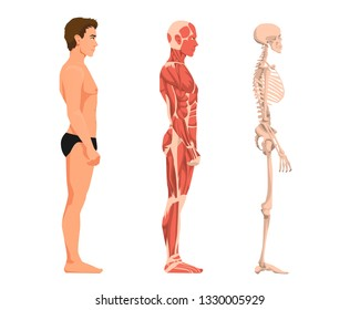 Vector illustration of man anatomy. Cartoon realistic people illustartion. Flat young man. Side view. Anatomy of male muscular system. Human skeleton