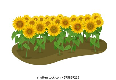 Vector Illustration: many sunflower on the ground isolated on white background.