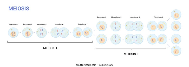 Vector illustration of Meiosis phases. Cell division