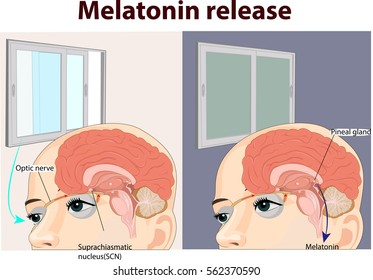 Vector illustration of melatonin release anatomy