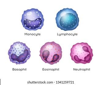 Vector Illustration of Monocyte,   Lymphocyte, Eosinophil, Neutrophil, Basophil .White blood cells.