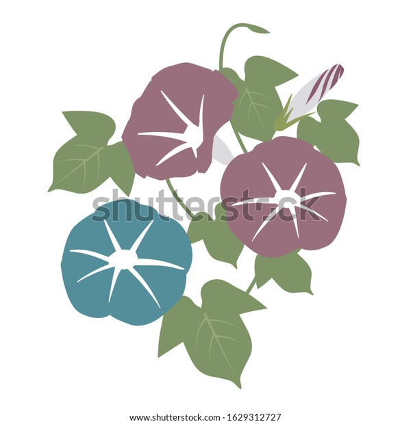 Vector Illustration | morning glory