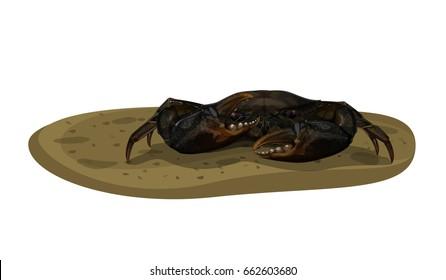 Vector Illustration : Mud Crab Scylla serrata on the muddy mangrove forest floor isolated on white background.