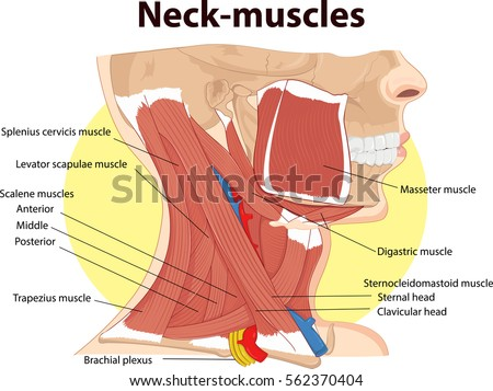 Vector Illustration Neck Muscles Anatomy Stock Vector Royalty Free