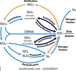 vector illustration of the nitrogen nutrients cycle  figure of all the  processes in the nitrogen
