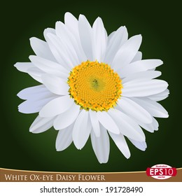 Vector illustration of one bud of white Ox-eye daisy flower; photo-realistic style drawing. Asteraceae -- Leucanthemum vulgare.