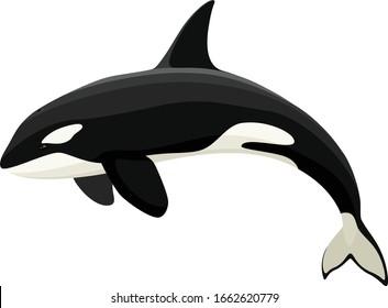 Vector illustration of an orca (killer whale).