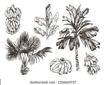 Vector Illustration of palm tree and banana fruit sketch for design, website, background, banner. Hand Drawing floral on beach. Travel and vacation ink element template. Isolated on white