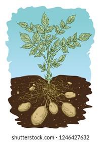 Vector illustration of parts of potato plant.