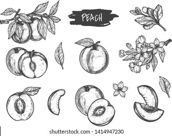 Vector illustration of peach and apricot set. Single, half, cut, slice, with pit, composition, on the branch, flowers blossom. Vintage hand drawn style.