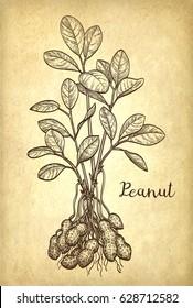 Vector illustration of peanut plant. Old paper background. Vintage style.