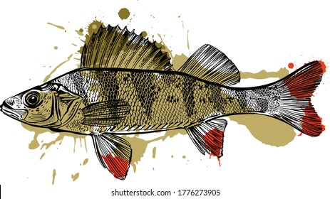 the vector illustration of the Perch fish