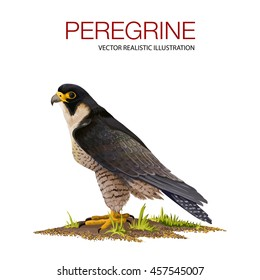 Vector illustration of a peregrine falcon, made in a realistic style. Bird of prey, falcon family