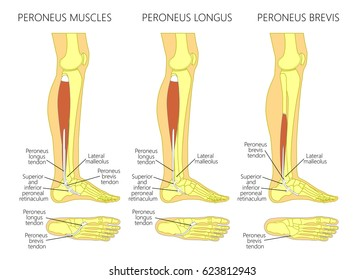 Vector illustration of peroneus longus and peroneus brevis muscle. Lateral view of human leg and ankle and bottom or plantar view of the foot. EPS 10.