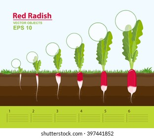 Vector illustration. Phases and stage of growth, development and productivity of a red radish in the garden. Distance between plants. Infographic concept