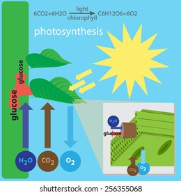 vector illustration of photosynthesis process