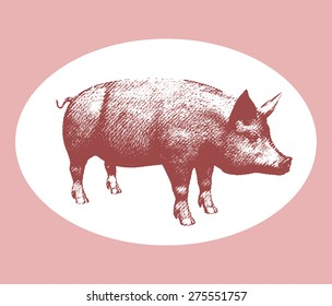 Vector illustration pink pig engraving style isolated on white background