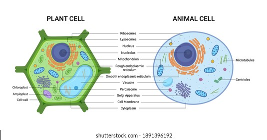 Vector illustration of the Plant and Animal cell anatomy structure. Educational infographic