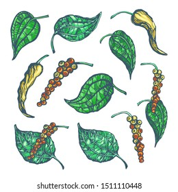 Vector illustration of plant of black pepper with the leaves and allspice isolated on white background. Botanical illustration set. Natural seasoning of allspice to eat and cook food.