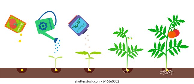 Vector illustration of plant growth. Tomato growing stages. Gardening process