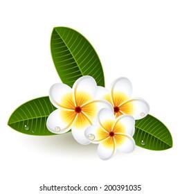 Vector illustration - Plumeria flowers on white