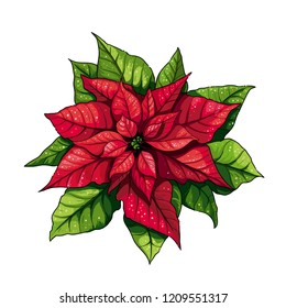 Vector illustration of poinsettia (christmas star) flower. Red and green leaves of winter plant.