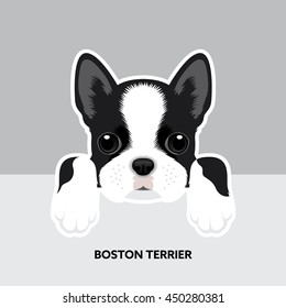 Vector Illustration Portrait of Boston Terrier Puppy. Dog isolated