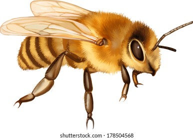Vector illustration of Pretty bee isolated on the white