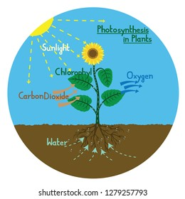 Vector illustration of the process of photosynthesis in green plants.