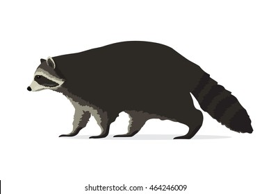 Vector illustration of raccoon isolated on white