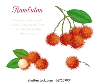Vector illustration of rambutan, made in a realistic style. Isolated objects on a white background. A series of exotic fruits.