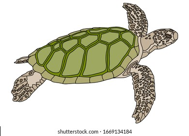 Vector illustration. Realistic design. Sea turtle with green shell. Marine inhabitants. Children's illustration.