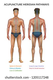 Vector illustration of realistic human body front and back side with acupuncture meridian pathways and corresponding organs isolated on white background