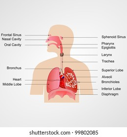 Lung Diagram Images Stock Photos Vectors Shutterstock