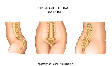 vector illustration of of the sacrum and lower back