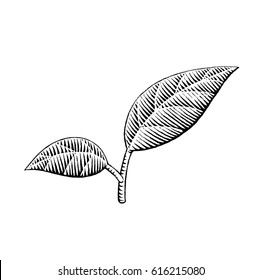 Vector Illustration of a Scratchboard Style Ink Drawing of Leaves