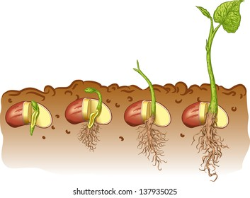 Vector illustration of Seed bean plant
