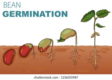 vector illustration Seed germination beans