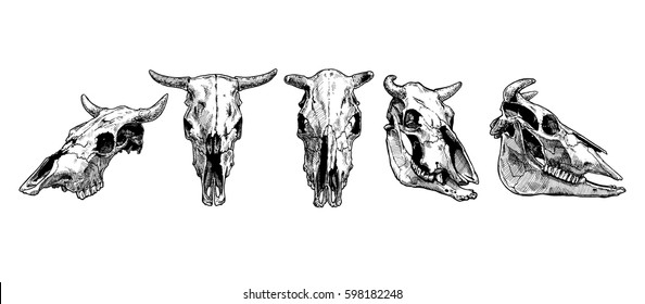 Vector illustration set of bull and cow skull stylized as engraving. Profile, full face  and three-quarter views.