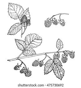 Vector illustration set of hand drawn raspberry and leaves isolated on white background. Outline raspberry are element for design. Hand-drawn contour lines